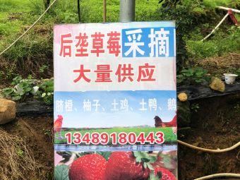 后垄草莓采摘