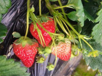 铜钟镇草莓园