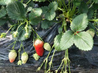 富阳大青有机草莓采摘
