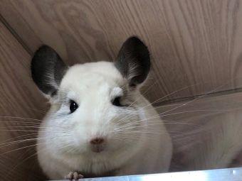 胖繽姐姐(龙猫兔子宠物店)