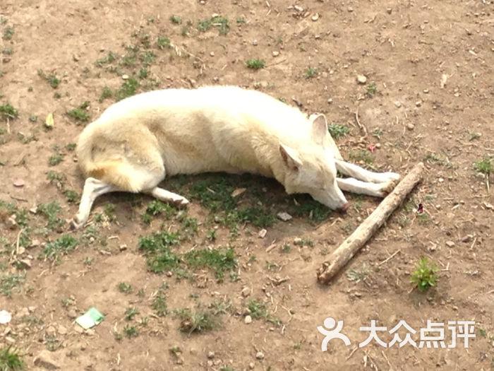 青岛森林野生动物世界白狼图片 - 第13张