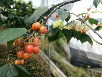 半山忠根农家樱桃