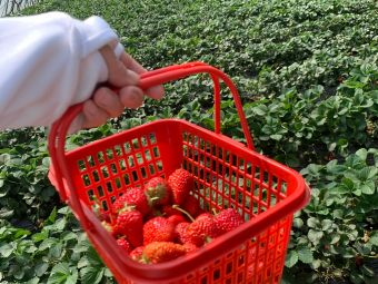 振山兴旺合作社有机草莓