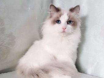 喵喵之家布偶猫舍