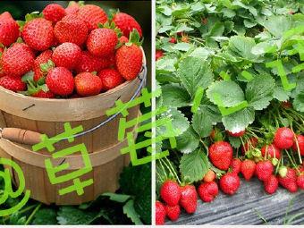 植物园无公害草莓采摘园