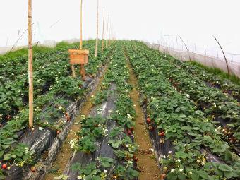 株洲白关回味草莓园