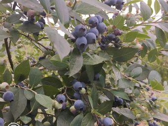 风之谷蓝莓园