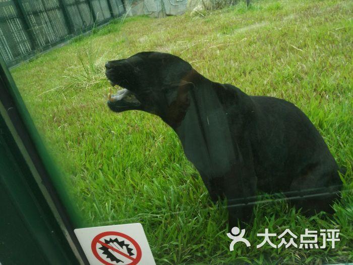 广州动物园黑豹图片 - 第6张