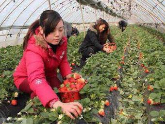 树友草莓园