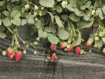 浙江妮妮奶油草莓采摘园