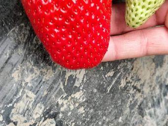 长丰红颜草莓