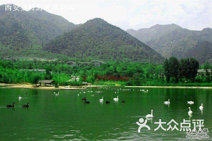 西安秦岭野生动物园天鹅湖美景