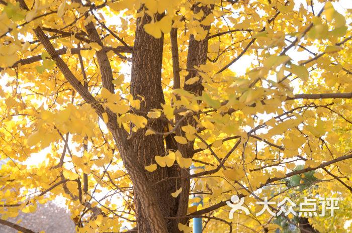 壁纸 风景 森林 银杏 银杏树 银杏叶 桌面 700_464
