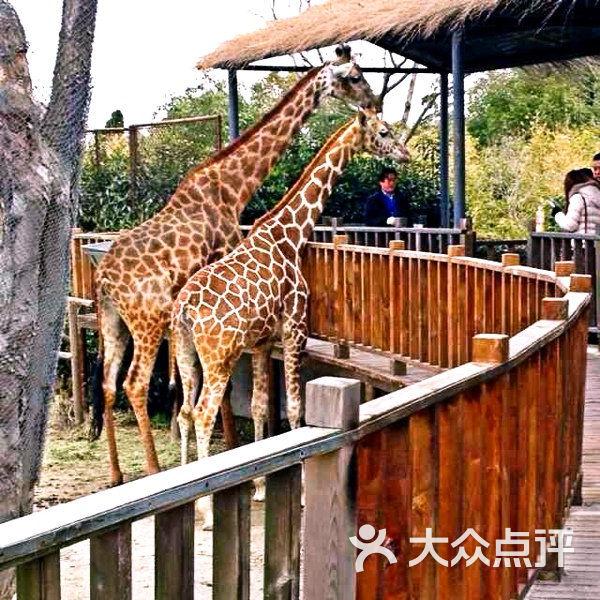 上海野生动物园长颈鹿图片 - 第4张