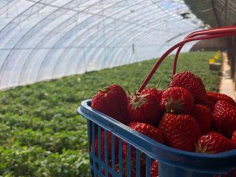 金牌草莓采摘