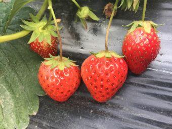 康乐奶油草莓