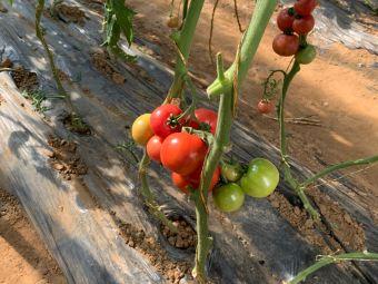 立成原味一号番茄采摘园