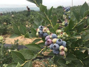 蓝胖子蓝莓种植基地