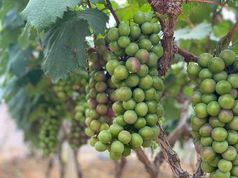 绿康葡萄庄园