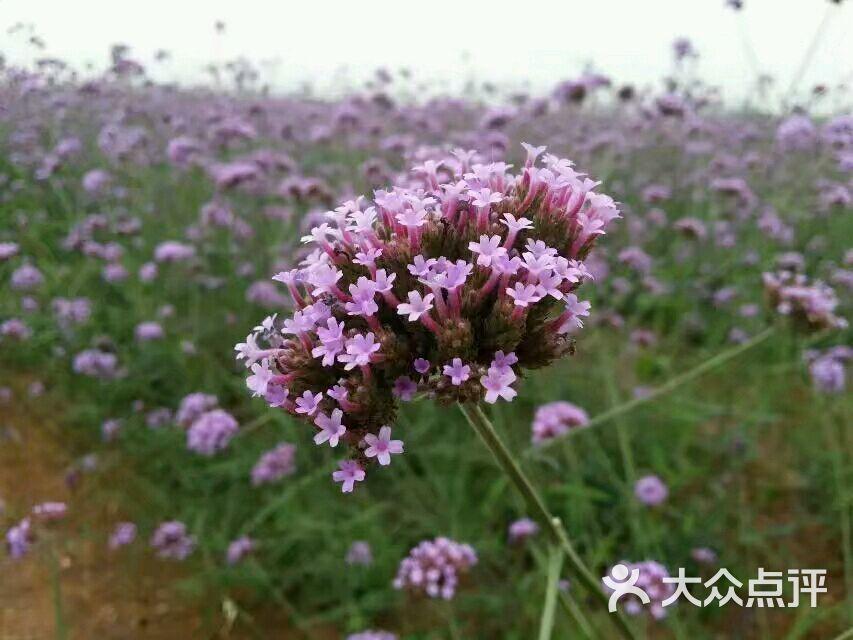 紫海蓝山薰衣草庄园图片 - 第3张