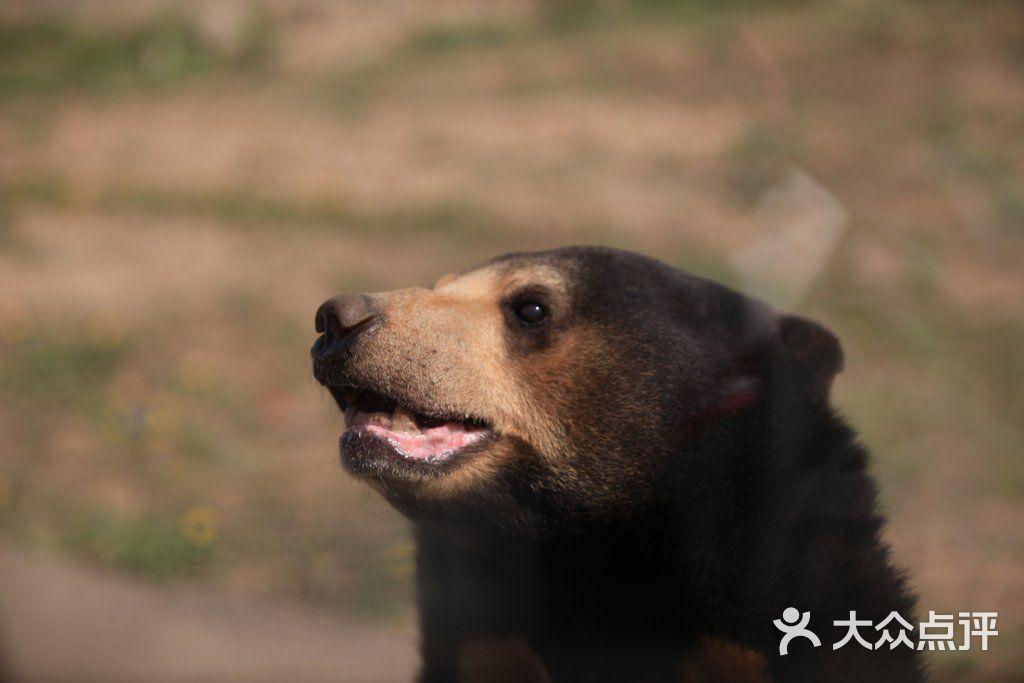 八达岭野生动物世界马来熊图片 - 第2张