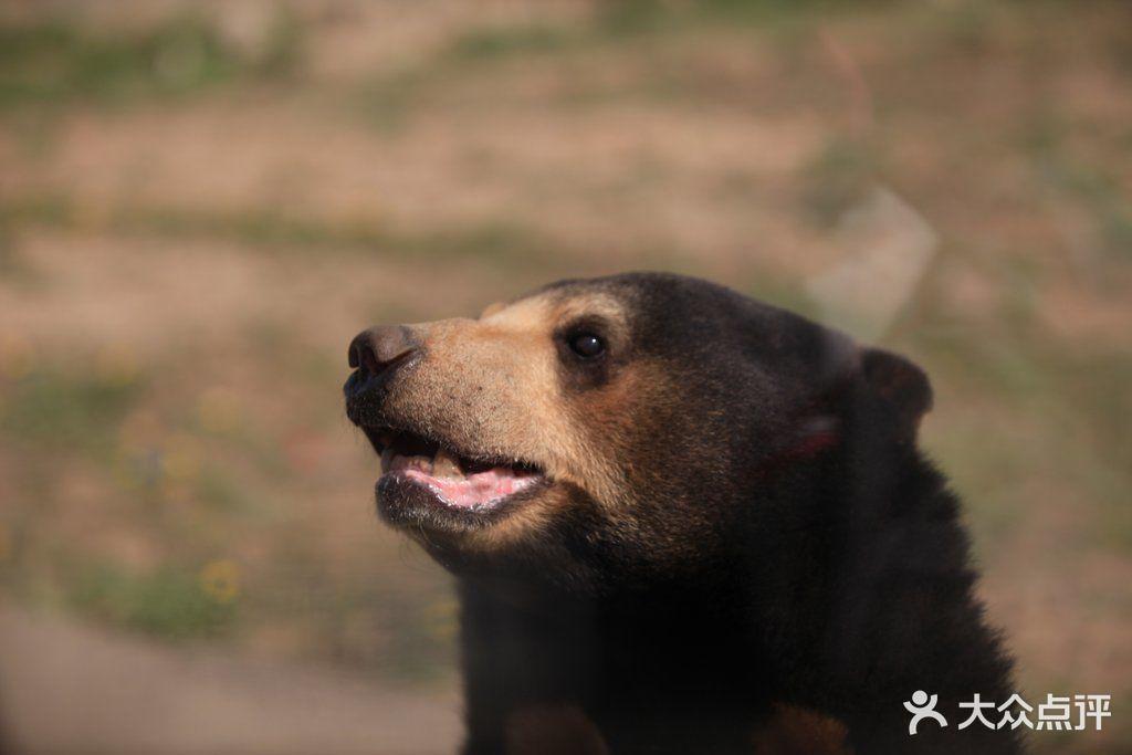 八达岭野生动物世界马来熊图片