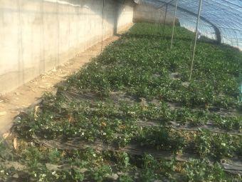 阿牛草莓采摘园