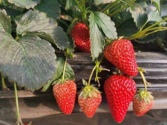 能叔草莓采摘
