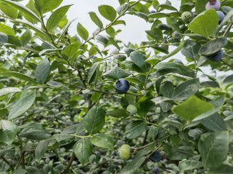 恒丰蓝莓园