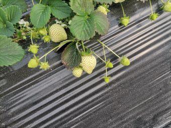 岳家草莓园
