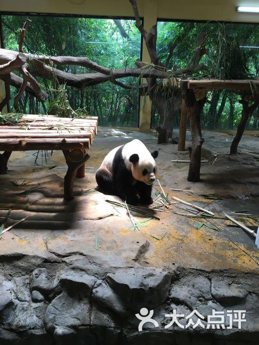 广州长隆野生动物世界熊猫馆图片